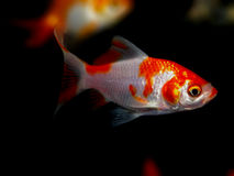 μαύρο λευκό γραμμών ψαριών σχεδίων ενυδρείων Στοκ φωτογραφίες με δικαίωμα ελεύθερης χρήσης