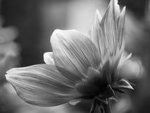 μαύρο λευκό λουλουδιώ&n Στοκ Εικόνες