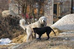μαύρο λευκό σκυλιών Στοκ Εικόνες