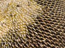 Μαύρο λευκό σπόρων ηλίανθων στοκ εικόνα με δικαίωμα ελεύθερης χρήσης