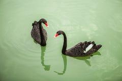 Μαύρο ζευγάρι κύκνων στο πράσινο νερό Στοκ Εικόνες