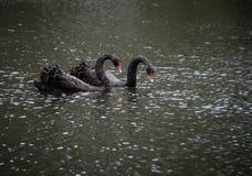 Μαύρο ζεύγος του Κύκνου Στοκ φωτογραφία με δικαίωμα ελεύθερης χρήσης