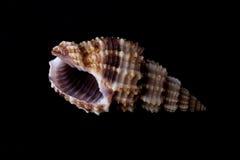 μαύρο θαλασσινό κοχύλι ανασκόπησης Στοκ Εικόνες