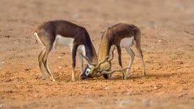 Μαύρο ινδικό αρσενικό Buck στοκ φωτογραφίες με δικαίωμα ελεύθερης χρήσης