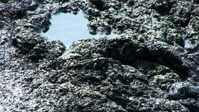 Μαύρο καβούρι που κινείται στους βράχους Kona Χαβάη λάβας απόθεμα βίντεο