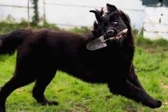 Μαύρο καθαρής φυλής σκυλί της νέας γης με ένα φτυάρι κήπων στο στόμα του στοκ εικόνες