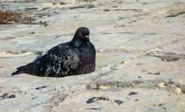 Μαύρο και γκρίζο περιστέρι στις πέτρες Στοκ Φωτογραφία