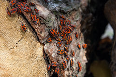 Μαύρο και κόκκινο apterus Firebug ή Pyrrhocoris, σε ένα παλαιό δέντρο trun Στοκ Εικόνες