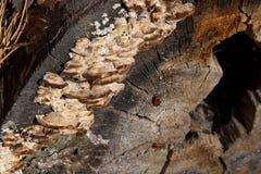 Μαύρο και κόκκινο apterus Firebug ή Pyrrhocoris, σε ένα παλαιό δέντρο trun Στοκ Φωτογραφίες