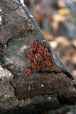 Μαύρο και κόκκινο apterus Firebug ή Pyrrhocoris, σε ένα παλαιό δέντρο trun Στοκ φωτογραφία με δικαίωμα ελεύθερης χρήσης