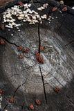 Μαύρο και κόκκινο apterus Firebug ή Pyrrhocoris, σε ένα παλαιό δέντρο trun Στοκ Φωτογραφία