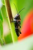 Μαύρο και πορτοκαλί Grasshopper Στοκ φωτογραφία με δικαίωμα ελεύθερης χρήσης