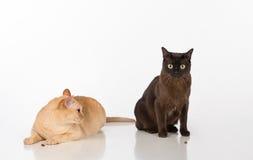 Μαύρο και φωτεινό καφετί βιρμανός ζεύγος γατών η ανασκόπηση απομόνωσε το λευκό Τρόφιμα στο έδαφος Στοκ Εικόνες