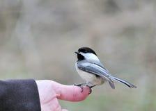 μαύρο καλυμμένο χέρι chickadee Στοκ Φωτογραφίες
