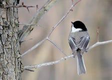 μαύρο καλυμμένο chickadee Στοκ εικόνες με δικαίωμα ελεύθερης χρήσης