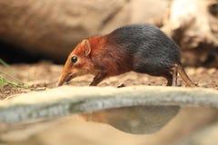μαύρο καστανοκοκκινωπό shrew ελεφάντων Στοκ Εικόνες