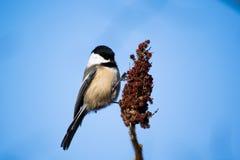 μαύρο καλυμμένο chickadee Στοκ Εικόνες