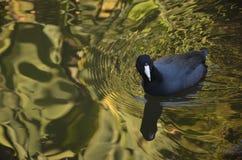 μαύρο κοινό ύδωρ ξυλοποδάρων himantopus πουλιών φτερωτό Στοκ φωτογραφίες με δικαίωμα ελεύθερης χρήσης