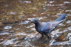 Μαύρο κοράκι από το Οταρού Στοκ εικόνες με δικαίωμα ελεύθερης χρήσης