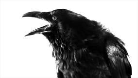 μαύρο κοράκι Μακροεντολή απόθεμα βίντεο