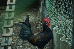 Μαύρο κοτόπουλο Στοκ Εικόνες