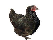 Μαύρο κοτόπουλο Στοκ εικόνα με δικαίωμα ελεύθερης χρήσης