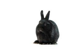 Μαύρο κουνέλι που απομονώνεται στην άσπρη ανασκόπηση Στοκ Φωτογραφίες