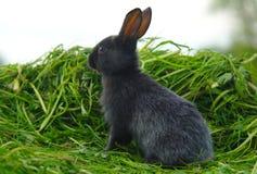 Μαύρο κουνέλι στην πράσινη χλόη Στοκ Φωτογραφίες