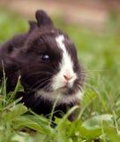 μαύρο κουνέλι Στοκ εικόνες με δικαίωμα ελεύθερης χρήσης