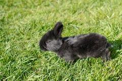 μαύρο κουνέλι μωρών Στοκ εικόνα με δικαίωμα ελεύθερης χρήσης