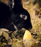 Μαύρο κουνέλι που τρώει ένα μήλο Στοκ φωτογραφία με δικαίωμα ελεύθερης χρήσης