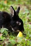 Μαύρο κουνέλι που τρώει ένα μήλο Στοκ εικόνες με δικαίωμα ελεύθερης χρήσης