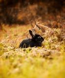 Μαύρο κουνέλι το φθινόπωρο Στοκ Φωτογραφίες