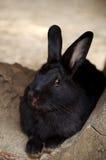 μαύρο κουνέλι Στοκ εικόνα με δικαίωμα ελεύθερης χρήσης