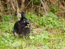 μαύρο κουνέλι Στοκ φωτογραφίες με δικαίωμα ελεύθερης χρήσης