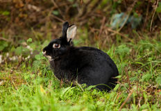 μαύρο κουνέλι Στοκ Φωτογραφία