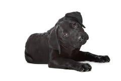 μαύρο κουτάβι του Λαμπραντόρ στοκ φωτογραφίες