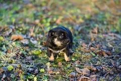 Μαύρο κουτάβι Στοκ φωτογραφία με δικαίωμα ελεύθερης χρήσης