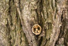Μαύρο κοχύλι ξύλων καρυδιάς στο φλοιό Στοκ Εικόνα