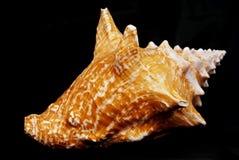 μαύρο κοχύλι conch Στοκ Φωτογραφία