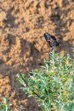 Μαύρο κυνήγι πουλιών ψαρονιών στον κλάδο Στοκ εικόνα με δικαίωμα ελεύθερης χρήσης