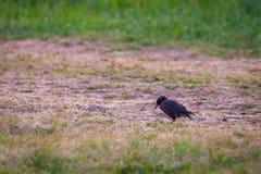 Μαύρο κυνήγι πουλιών ψαρονιών στο έδαφος στην πράσινη χλόη Στοκ Φωτογραφίες