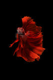 μαύρο κόκκινο ψαριών betta ανασ& Στοκ Εικόνα