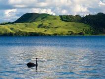 Μαύρο Κύκνος λιμνών atratus αστερισμού του Κύκνου Okatania NZ Στοκ εικόνες με δικαίωμα ελεύθερης χρήσης