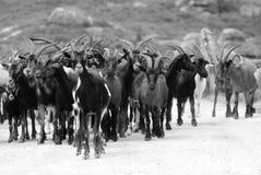 μαύρο λευκό αιγών Στοκ φωτογραφίες με δικαίωμα ελεύθερης χρήσης