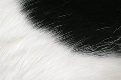μαύρο λευκό γουνών ανασκό Στοκ Εικόνα