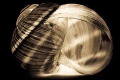 μαύρο λευκό κοχυλιών Στοκ Εικόνες