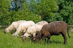 μαύρο λευκό λιβαδιών sheeps στοκ εικόνες