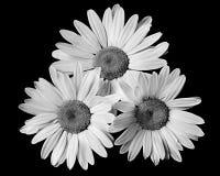 μαύρο λευκό μαργαριτών s τρία Στοκ φωτογραφία με δικαίωμα ελεύθερης χρήσης