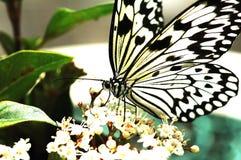 μαύρο λευκό πεταλούδων Στοκ εικόνες με δικαίωμα ελεύθερης χρήσης